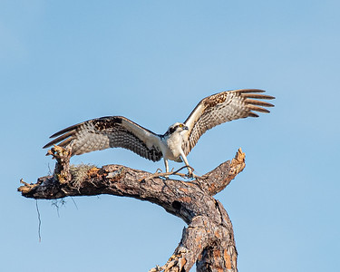 Osprey bringing the first stick for a nest