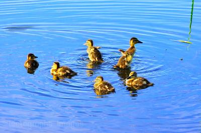 Baby Ducks, Friendship Gardens,