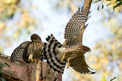 Coopers Hawk fledges
