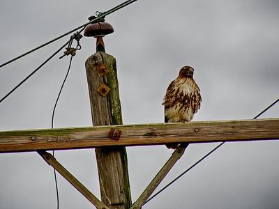 Redtail on a transmission pole