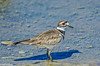 Kildeer at Colusa 2014 #3-3