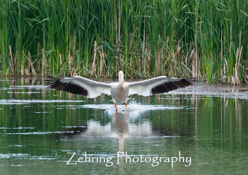 Coming in for a landing, this American white pelican uses its webbed feet to help put on the brakes.