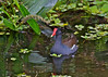 Common Moorhen, Green Cay Wetlands, Florida