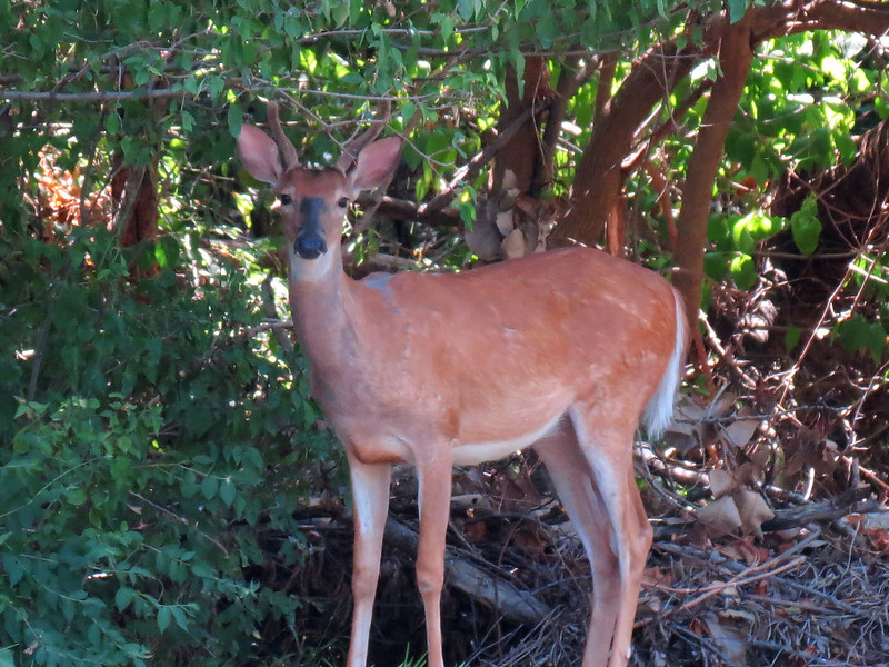One of the three deer watching me this afternoon. <br /> Technically, they are beyond the backyard but I included them here<br /> because they will be in the backyard later today.