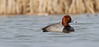 Redhead - March 2013 - Lucas County, Ohio