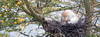 Parent Cattle Egret covering her chicks.