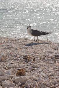 Gull, Back Lit, Honeymoon Island, FL 600 pix-2032