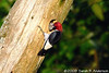 Feeding in progress<br /> Red-headed Woodpecker<br /> <br /> Hughes Hollow, Montgomery County, Maryland<br /> July 2009