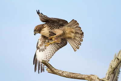 Red-tailed hawk launch