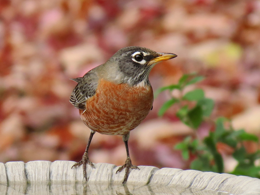A Robin showed up at the bird bath on October 30.