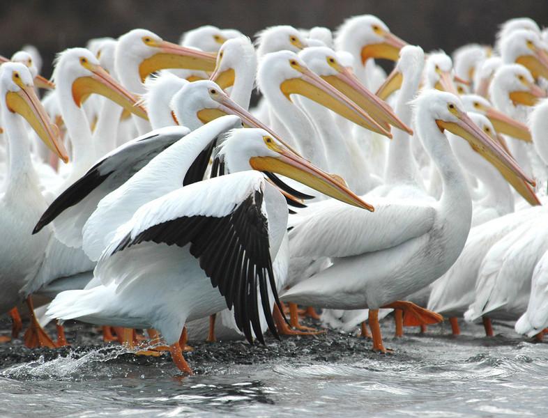 White Pelicans, Clear Lake, CA