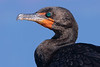 double-crested cormorant<br /> Phalacrocorax auritus