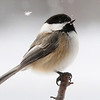 Snowflakes and Chickadees