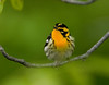 Blackburnian Warbler - Magee Marsh - May 2008
