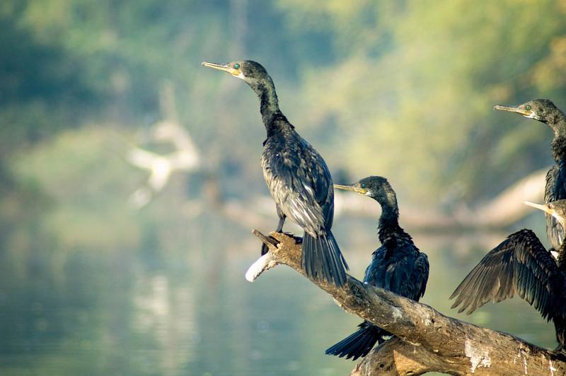Indian Cormorant (Phalacrocorax fuscicollis)<br /> Bharatpur, India<br /> IUCN Status: Least Concern