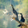 Indian Cormorant (Phalacrocorax fuscicollis)<br /> Bharatpur, India<br /> IUCN Status: Least Concern