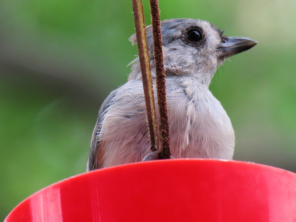 Titmouse cooling off in the ant guard turned bird bath.