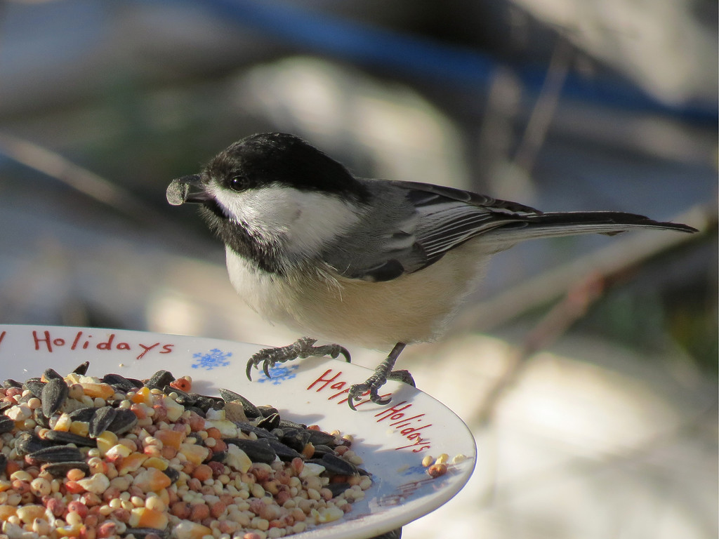 Chickadee getting a sunflower seed.