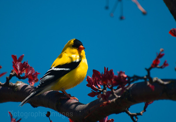 A Gold Finch Sitting In An Apple Tree