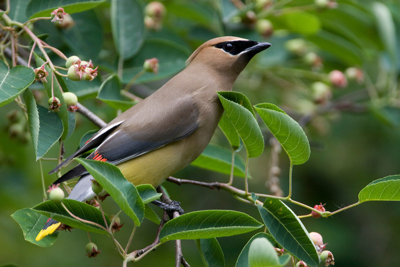 Cedar Waxwing - June 2008