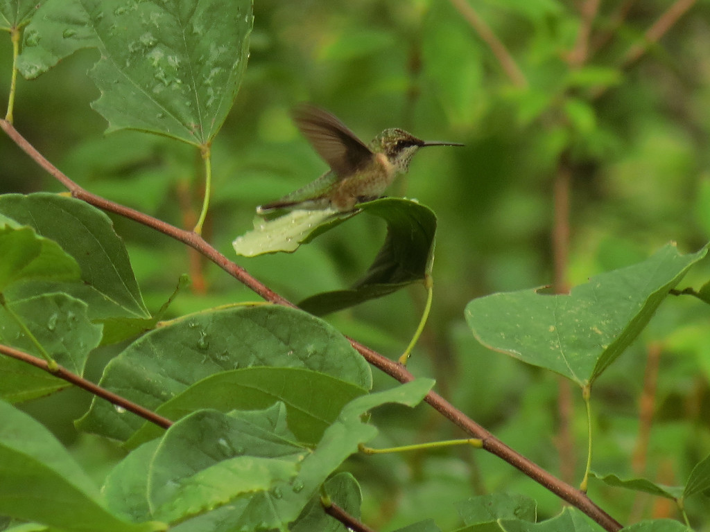 Hummingbird bathing in the raindrops on a leaf<br /> of the Forest Pansy Redbud tree. This was early<br /> in the morning when everything was still very wet<br /> from yesterday's rain.