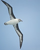 Gray-headed Albatross, Antarctica