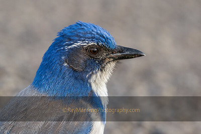Portrait of a Scrub Jay
