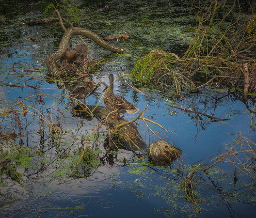 Ducks haveing a rest