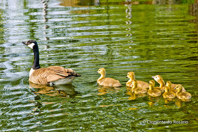 Canada Geese with goslings in a pond, Oakville, Ontario,Canada
