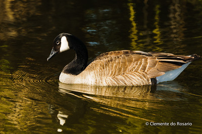 Canadian Goose in a pond at Gairloch Gardens, Oakville, Ontario,Canada