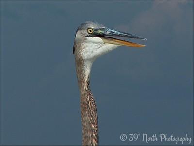 Great Blue Heron Panama City, FL