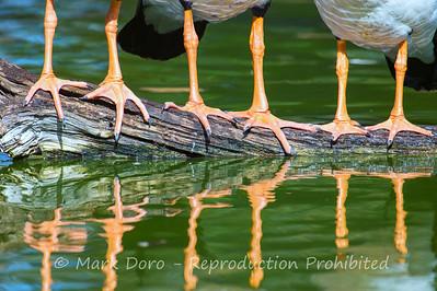 Magpie Geese, Lara, Victoria