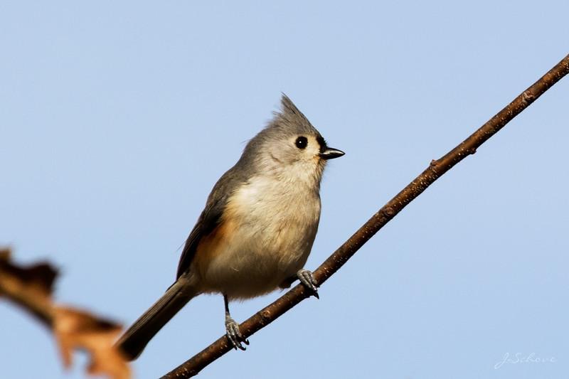 IMAGE: http://jschove.smugmug.com/Nature/Birds/i-mpmbDBc/0/L/TuftedTitmouse_7773_crop-L.jpg