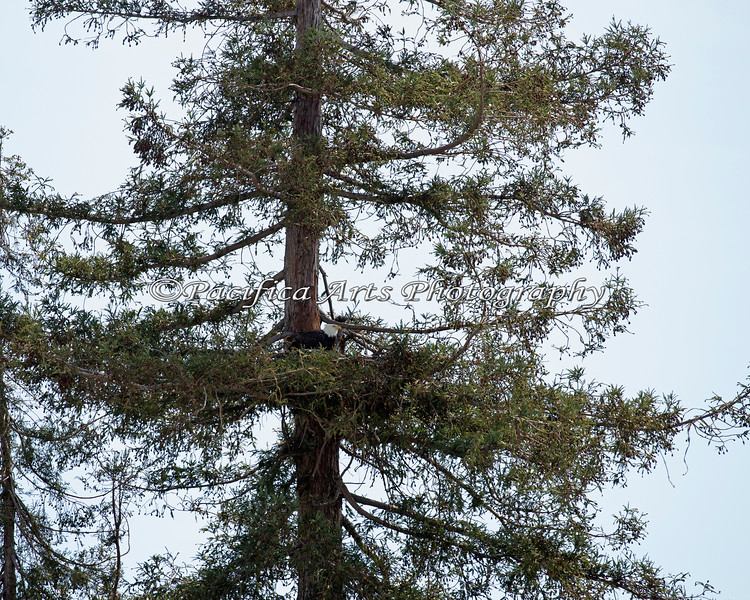 Bald Eagle nest - Milpitas - 10Apr2017  (male is on nest)