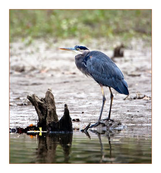 Great Blue Heron<br /> (Ardea herodias)