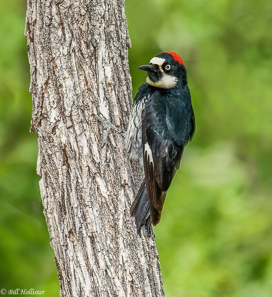 Acorn Woodpecker at Cave Creek 6-09 #1a