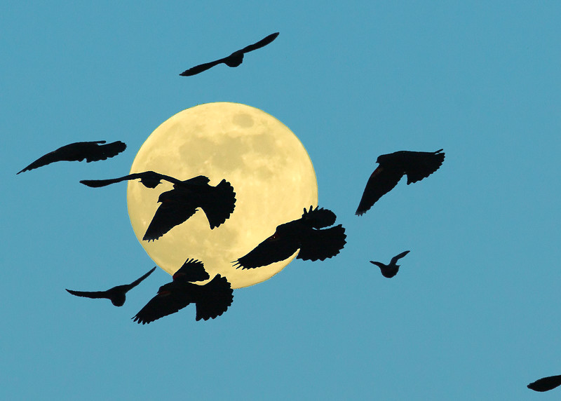 Red-winged Blackbirds flying in front of full moon