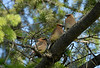 Cedar Waxwing trio - June 8, 2010