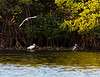 A White Ibis and probably its one year old offspring in a mangrove lagoon.