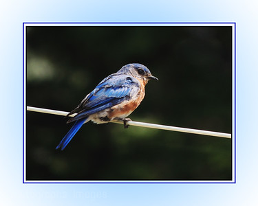 Bluebird On The Line;
