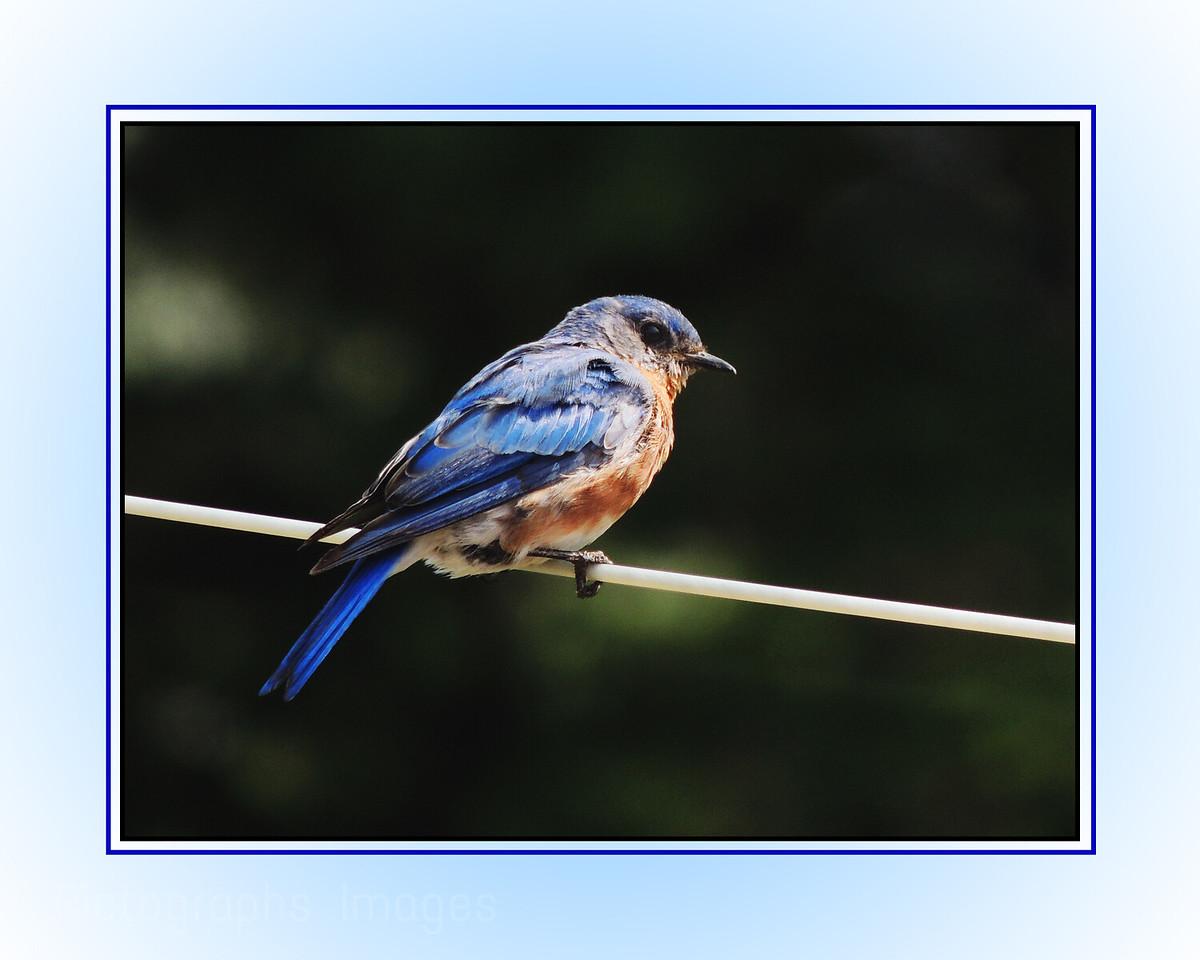 Bluebird On The Line;