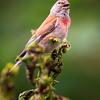 Common Linnet