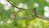 Male and female Eastern Bluebirds