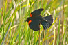 Red-Winged Blackbird on cattail 1