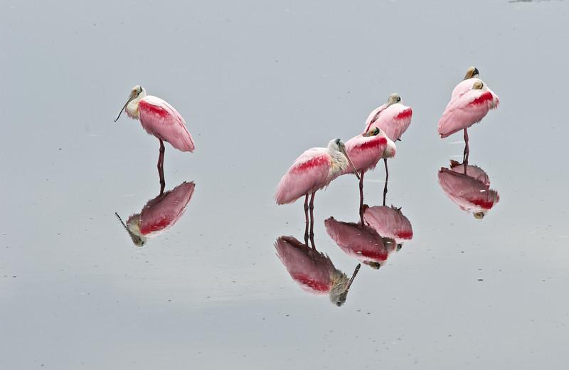 Roseate Spoonbills, Merritt Island National Wildlife Refuge, Florida