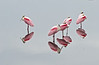 Roseate Spoonbills, Merritt Island National Wildlife Refuge, Florida