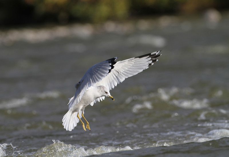 Ring billed Gull - October 2009