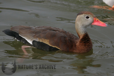 Black-Bellied Whistling Duck, Scottsdale, AZ