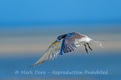 Tern in flight, Hawks Nest, New South Wales
