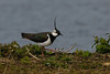 Lapwing<br /> London Wetland Centre, London, England